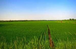 直播水稻用什么肥料可以增产